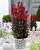 Lobelia speciosa 'Scarlet Princess'