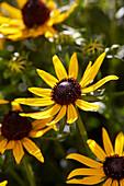Rudbeckia fulgida 'Little Goldstar'