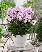 Phlox paniculata Sweet Summer 'Sensation'