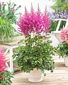 Astilbe chinensis 'To Have and to Hold'