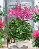 Astilbe chinensis 'Love and Pride' ®