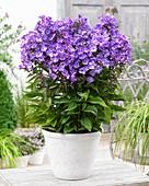 Phlox paniculata Sweet Summer 'Surprise'