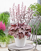 Heuchera 'Plum Power'