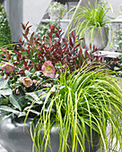 Carex oshimensis EverColor® 'Everillo'