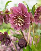 Helleborus orientalis Double Ellen® 'Red'
