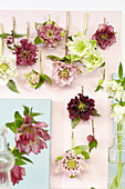 Gefüllte Christrosen-Blüten als hängendes Tableau
