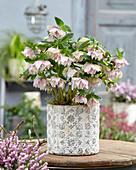 Helleborus orientalis Double Ellen® 'Pink Spotted'