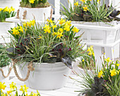 Carex oshimensis EverColor® 'Everest', Narcissus 'Tete a Tete'