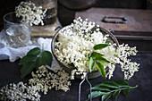 Frische Blüten vom Schwarzen Holunder (Sambucus nigra)