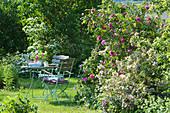Gedeckter Tisch am Beet mit englischer Rose 'Gertrude Jekyll' und Weigelie