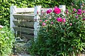 Pfingstrose blüht am Kompost, Korb mit Gartenabfall