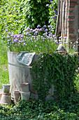 Holzfass mit Schnittlauch und Efeu im Garten