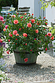 Rose 'Schloß Bad Homburg'
