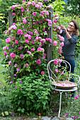 Frau schneidet Blüten von Kletterrose 'Parade' am Rankgerüst, davor Zitronenmelisse