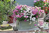 Petunie 'Sunray Pink' und Kapkörbchen Summersmile 'Rosy White' im Kasten