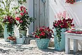Rote Pflanzen in türkisen Töpfen: Petunie, Dipladenie, Purpurglöckchen, Punktblumen Hippo 'Red 2020' 'Rose' 'Pink' und Pfennigkraut, Märchenrose 'Gebrüder Grimm'