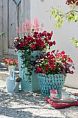 Rote Pflanzen in türkisen Töpfen: Petunie, Dipladenie, Purpurglöckchen, Punktblumen Hippo 'Red 2020' 'Rose' 'Pink' und Pfennigkraut
