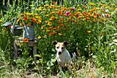 Hund Zula sitzt im Beet mit Ringelblumen, Strauß im Krug auf Hocker