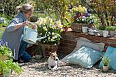 Frau gießt Korb mit Narzissen und Hornveilchen, Hund Zula