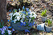 Kleine Frühlingsdeko im Garten mit Strahlenanemone, Hornveilchen und Traubenhyazinthen in Töpfen