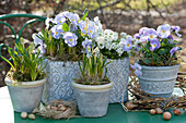 Frühlings-Arrangement mit Traubenhyazinthen, Hornveilchen 'Rocky Lavender Blush' und Schleifenblume