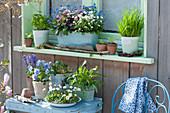 Frühlingsdeko am Fenster: Vergißmeinnicht in drei Farben, Schnittlauch, Petersilie, Hornveilchen 'Sorbet Marina', Gänseblümchen, Rucola und Hyazinthen