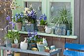 Blau-weiße Osterdeko am Fenster: Hornveilchen 'Sorbet Marina', Goldlack 'Moon Improved', Hyazinthen, Kugelprimel und Seggen