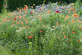 Blumenwiese für als Bienenweide mit Büschelschön, Klatschmohn und Kamille