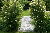 Ramblerrose 'Ghislaine de Feligonde' an Rosenbogen, gepflasterter Weg