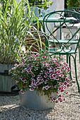 Nelke und weißbuntes Pfahlrohr auf Kiesterrasse
