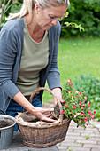 Frau lockert Wurzelballen von Zauberglöckchen vor dem Einpflanzen auf