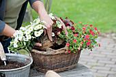 Frau bepflanzt Korb mit Zauberglöckchen und Purpurglöckchen