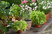 Arrangement mit Schnittlauch 'Corsican White', Pflücksalat, Petersilie und Erdbeere