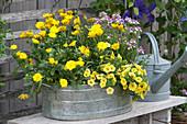 Kapkörbchen 'Yellow', Ringelblume Powerdaisy 'Sunny', Zauberglöckchen 'Golden Yellow' und Elfenspiegel 'Vanilla Berry'
