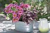 Kreuzung aus Petunie und Zauberglöckchen 'Sunray Pink' mit Punktblume in Zink-Jardiniere