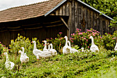 A herd of geese in a farmyard