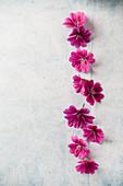 Wild mallow fuchsia flowers