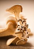 Macro focus of oyster mushroom