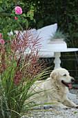 Blühendes Chinaschilf, Rose und Hund auf Terrasse