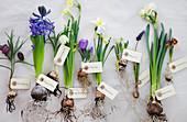 Verschiedene blühende Zwiebelblumen mit Blumenzwiebel und Etikett