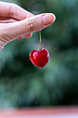 Crop female hand holding ripe red cherry on blurred background of garden