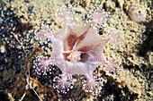 Lucernaria stalked jellyfish