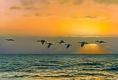 Flock of sacred ibis,illustration