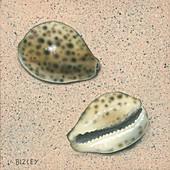 Tiger cowrie shells,illustration