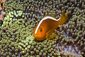 Orange skunk clownfish and anemone,Philippines