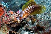 Devilfish swallowing jawfish,Indonesia