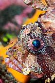 Shortfin lionfish head,Indonesia