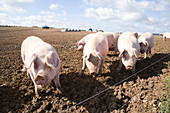 Pigs foraging for food