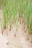 Close-up of marram grass