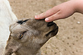 Young person stroking a goat's head at an animal sanctuary